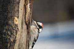 Downy Woodpecker on a Tree Stock Photos