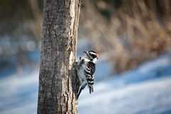 Downy Woodpecker on a Tree Stock Images