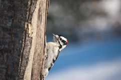 Downy Woodpecker on a Tree Royalty Free Stock Photo