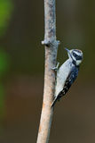 Downy Woodpecker on a tree branch. Royalty Free Stock Images
