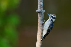 Downy Woodpecker on a tree branch. Stock Images