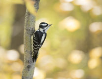Downy Woodpecker on a tree in fall. A lovely Female Downy Woodpecker on a tree with a background of fall colours. Dryobates pubescens Royalty Free Stock Photography