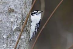 Downy Woodpecker on tree trunk Stock Photo