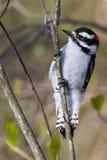 Downy Woodpecker on Twig Stock Photos