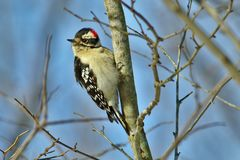 Downy woodpecker. Watching from its perch on a cold winter day Stock Photos