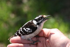 Downy Woodpecker on Women's Hand. Black and white downy woodpecker sitting on women's hand, close-up stock image