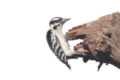 Downy Woodpecker & x28;Picoides pubescens& x29; Stock Image
