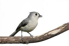 Downy Woodpecker & x28;Picoides pubescens& x29; Stock Photos