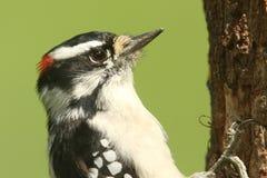 Downy Woodpecker & x28;Picoides pubescens& x29; Royalty Free Stock Photos