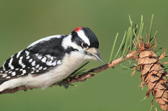 Downy Woodpeckers (Picoides pubescens) Stock Photos