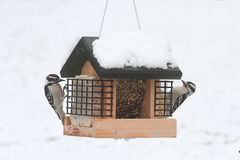 Downy Woodpeckers Picoides pubescens. On a feeder with snow Stock Photo