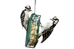 Downy Woodpeckers (Picoides pubescens). On a suet feeder isolated with a white background Royalty Free Stock Photos