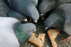 Dows. Eating bread Royalty Free Stock Images