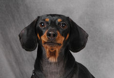 Doxie 2. Dachshund royalty free stock photos