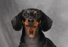 Doxie 2 Royalty Free Stock Photos