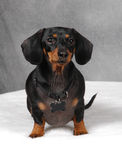 Doxie 3. Cutest Miniature Black and Brown Dachshund royalty free stock photography