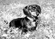 Doxie. Black and white dachshund picture stock image