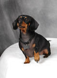 Doxie. Dachshund ready to shake a paw stock photo