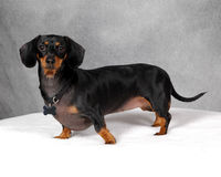 Doxie Dog. Black and tan dachshund standing for a pose royalty free stock photo