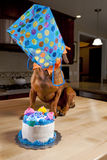Doxie dog with birthday cake and gift. Dog with birthday cake and gift over his head royalty free stock photography