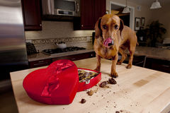 Doxie dog eating chocolates from heart shaped box. Dog eating chocolates from heart shaped Valentine's box on kitchen table stock photo