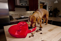 Doxie dog eating chocolates from heart shaped box. Dog eating chocolates from heart shaped Valentine's box on kitchen table royalty free stock photos