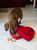 Doxie dog eating treats from heart shaped box. Dog eating valentine's box full of dog treats on kitchen floor Royalty Free Stock Photos