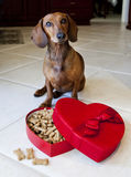 Doxie dog with heart shaped box full of treats. Doxie Dog with valentine's box full of dog treats on kitchen floor royalty free stock photography