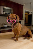 Doxie dog wearing pink sunglasses. Sitting on kitchen table royalty free stock image