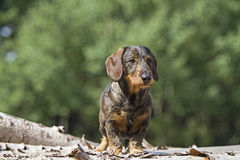 Doxie. Standing on a pile of wood stock photography