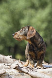 Doxie. Standing on a pile of wood stock photos