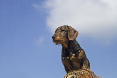 Doxie. Standing on a pile of wood in front of blue cloudy sky stock image