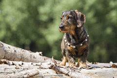 Doxie. Standing on a wooden tree trunk royalty free stock photo