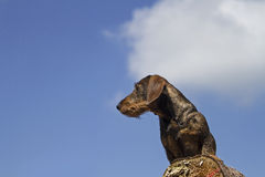 Doxie. Standing on a wooden tree trunk royalty free stock images