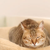 Doze. Cat dozed with funny expression on ground in room Stock Photography