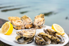 A dozen oysters on a plastic plate Royalty Free Stock Photography