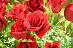 A dozen red roses Stock Photo
