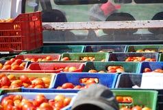 Dozen van vers geplukte tomaten Royalty-vrije Stock Afbeeldingen