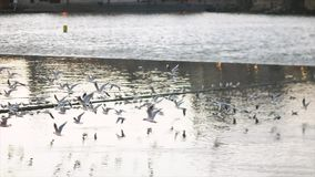 Pidgeons Flying in the City. Dozens of birds flying above Vltava river in the Prague, Capital city of Czechia stock video footage