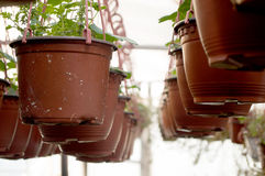 Dozens of brown plastic flowerpot with flowers that have yet to flourish in rows in a sunny greenhouse. In a village near Novi Sad, Serbia Stock Image