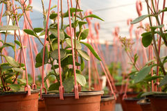 Dozens of brown plastic flowerpot with flowers that have yet to flourish in rows in a sunny greenhouse. In a village near Novi Sad, Serbia Stock Photography