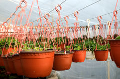 Dozens of brown plastic flowerpot with flowers that have yet to flourish in rows in a sunny greenhouse. In a village near Novi Sad, Serbia Stock Photos
