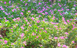 Dozens of little pink flowers growing Royalty Free Stock Images
