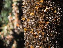 Dozens of monarch butterflies on Oyamel fir tree trunk Royalty Free Stock Images