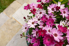 Dozens of pretty pink and magenta African daisies Royalty Free Stock Photography