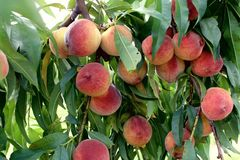 Peaches hang ripe on the tree. Dozens of ripe peaches, Prunus persica, hang golden orange, red and yellow off of the summer branches. Sharp green leaves fill in Stock Photography