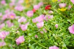 Dozens van het kleine roze bloemen groeien Ondiepe DOF Stock Afbeelding