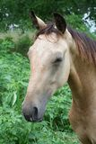 Dozing Buckskin Horse. Closeup head shot in partial profile of a dozing Buckskin horse in an outdoor setting Stock Image