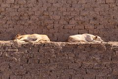 Dozing Dogs in Egypt, Africa. stock photography
