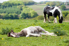 Dozing Foal Stock Images